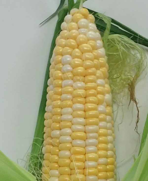 Bi-Color-Corn