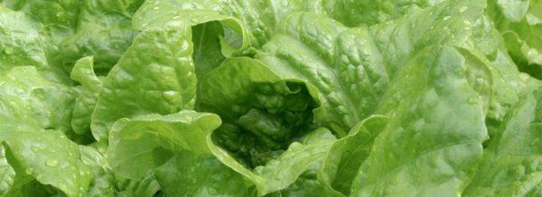 lettuces-900x328